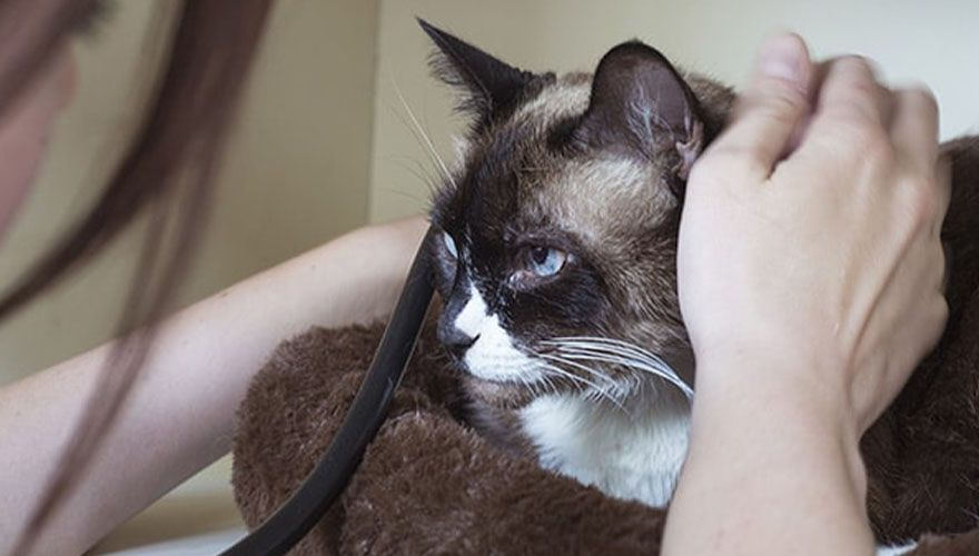 veterinarian checking cat with a stethoscope at home